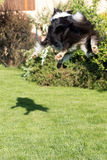 Border collie is jumping and catching its shadow Royalty Free Stock Photography