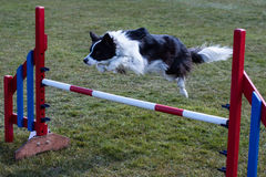 Border Collie Jumping over agility obstacle Stock Images
