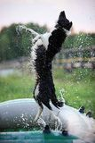 Border Collie jumping over the water drops. From the hose Stock Image