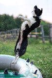 Border Collie jumping over the water drops. From the hose Royalty Free Stock Image