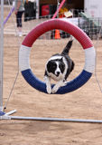 Border Collie jumping through ring. Border Collie jumping through a ring during an agility event royalty free stock image