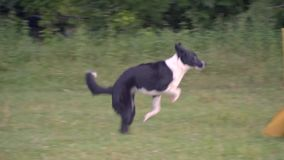 The border collie jumps high across the barriers and runs along side the girl handler on green lawn side view, slow stock footage