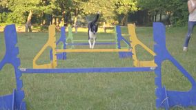 The border collie jumps high across the barriers and runs along side the girl handler on green lawn, slow motion stock footage