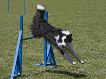 Border collie jumps hurdles Stock Images