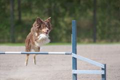 Border Collie jumps over an agility hurdle Royalty Free Stock Photo