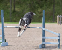 Border Collie jumps over an agility hurdle Royalty Free Stock Images