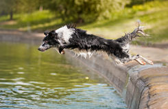 Border collie jumps into the water Royalty Free Stock Image