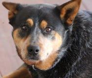 Border Collie Kelpie Dog royalty free stock photos