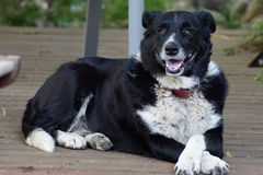 Border Collie Kelpie Dog. Very old Border Collie Kelpie Dog. 18 years old. A loyal and faithful companion. The best breed of dog to own. A family dog who is stock photos
