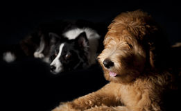 Border Collie and Labradoodle Royalty Free Stock Photos