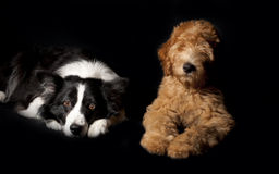 Border Collie and Labradoodle Stock Photos