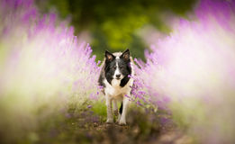 Border Collie in Lavender. Border Collie Standing in Park between Two Lines of Lavender stock photo