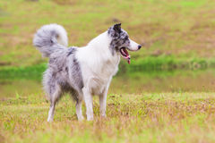 Border Collie on the lawn Royalty Free Stock Images