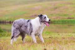 Border Collie on the lawn 2 Stock Image