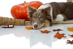 Border collie laying on a broom Royalty Free Stock Photos