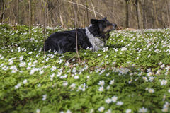 Border Collie laying in daisies on warm spring day stock images