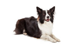 Border Collie Laying Looking Forward royalty free stock image