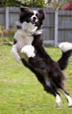 Border Collie Leaping. A Playful Border Collie Leaping to catch a ball Stock Photos