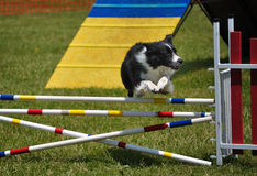 Border Collie leaping over jump at agility trial Royalty Free Stock Image
