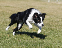 Border collie leaping at the park Royalty Free Stock Image
