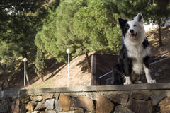 Border collie lies on the stone wall in the park serious. Border collie on a stone wall in the park stock photo