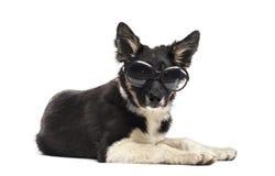 Border collie liggande och bärande solglasögon Arkivbild