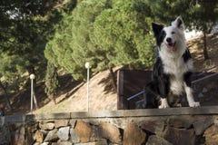 Border collie ligger på stenväggen i den allvarliga parkera Arkivfoto