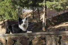 Border collie ligger på stenväggen i parkera Arkivbild