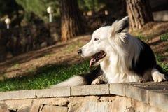 Border collie ligger på stenväggen i parkera Fotografering för Bildbyråer