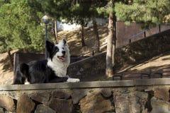 Border collie ligger på stenväggen i parkera för Arkivfoto