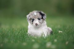 Border collie lindo del perrito que se sienta pensativamente en la hierba imagen de archivo libre de regalías