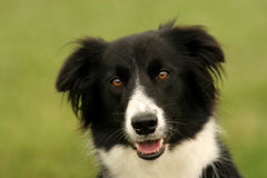 Border collie look. A border collie looking at you royalty free stock images