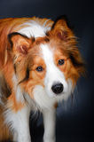 Border Collie Looking At You In The Dark Royalty Free Stock Images