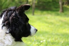 Border collie looking stock image