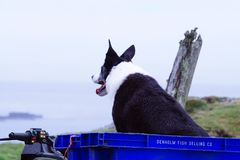 Border Collie looking out to sea royalty free stock photo