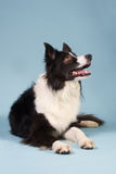 Border collie looking up. Black and white Border collie looking up Stock Images