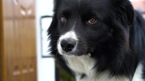 Border collie looks in slow motion stock footage