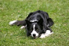 Border collie lying. Beautiful border collie lying on the grass stock images