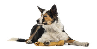 Border collie lying with a bone, eyes closed, isolated Royalty Free Stock Photo