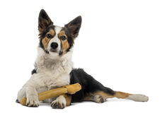 Border collie lying with a bone, isolated Stock Image