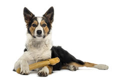 Border collie lying with a bone, isolated Stock Images