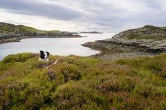 Border collie lying down between heather. At scottish loch. Scottish Highlands, Scotland UK stock images