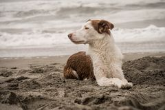 Border collie lying on dug up beach sand. Brown and white border collie lying on dug up beach sand close to the edge of the sea looking off to the side watching stock photos