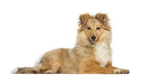 Border Collie, lying and facing Royalty Free Stock Image
