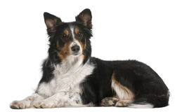 Border Collie lying in front of white background Stock Images