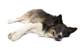 Border collie lying in front of white background Stock Image