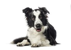 Border Collie lying in front of white background. Isolated on white stock photo