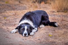 Black and white border collie lying on ground stock photography