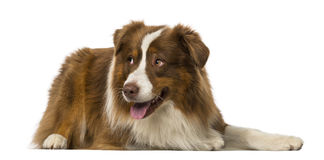 Border collie lying and looking away Stock Photography