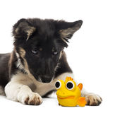 Border collie lying and looking at a toy Stock Images